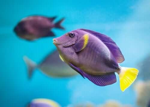Pesce viola e giallo