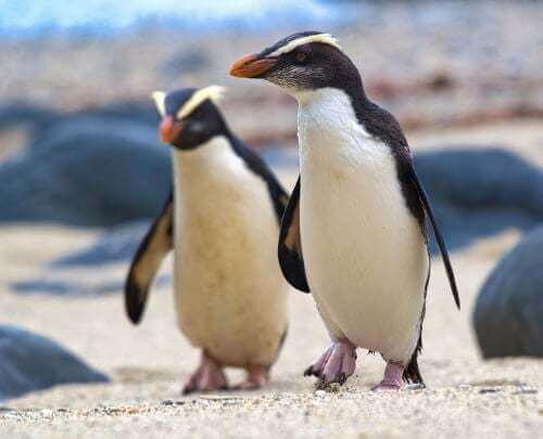 Pinguini di Fiordland