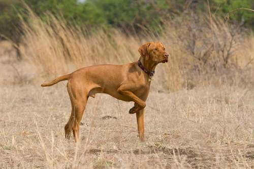 Pointer inglese in un campo
