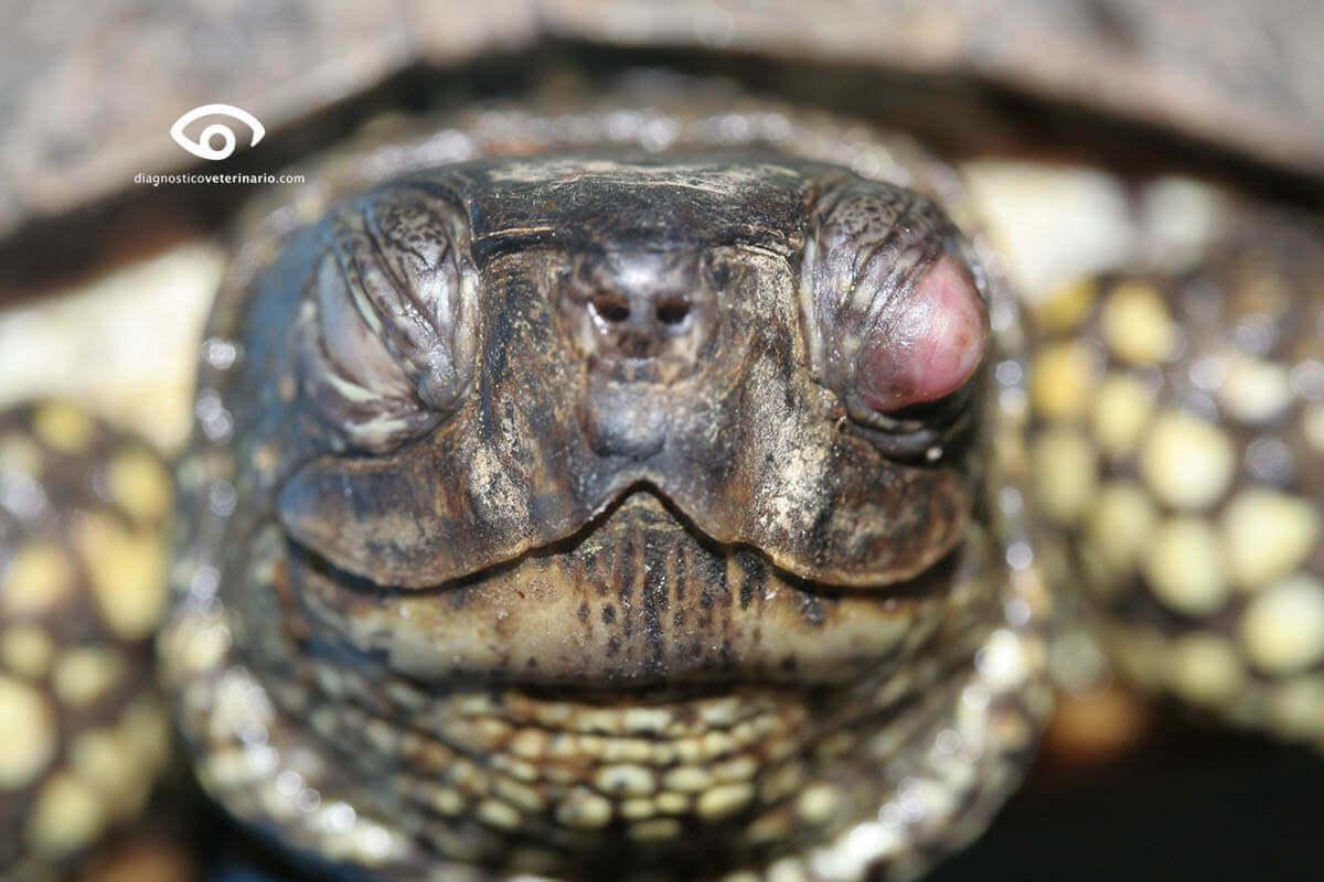 problemi di salute comuni delle tartarughe domestiche
