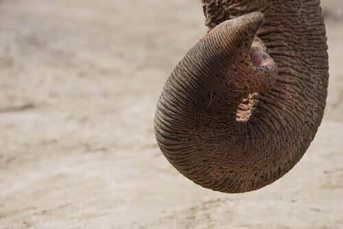gli elefanti sono gli animali dall'olfatto maggiormente sviluppato
