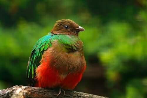 Quetzal auriceps