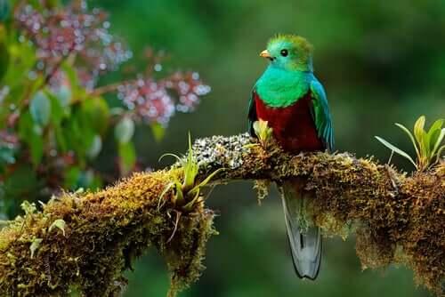 Il quetzal della Mesoamerica: leggenda e specie