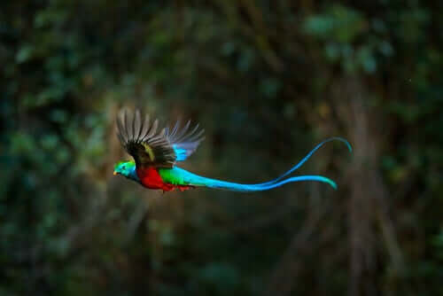 Quetzal in volo