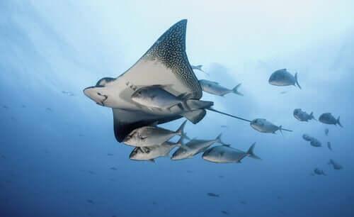 Razza in mare circondata da pesci