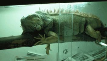 rettile come animale domestico in una gabbia
