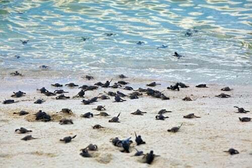 Piccoli di tartaruga liuto sulla spiaggia.