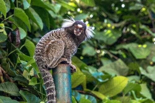 Scimmia callicebus