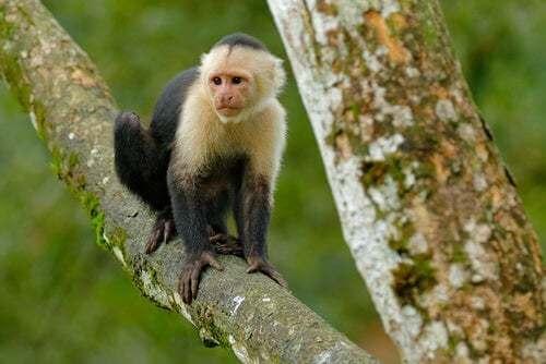 Scimmie per scopi terapeutici