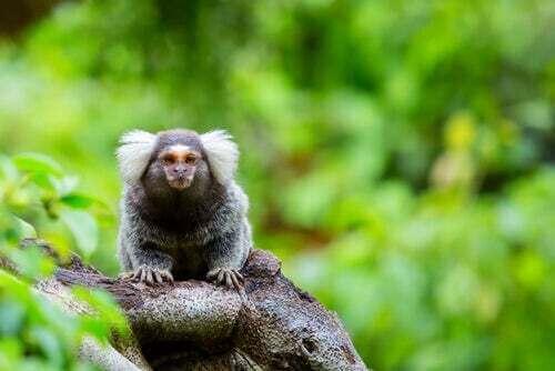 Caratteristiche e morfologia delle scimmie uistitì