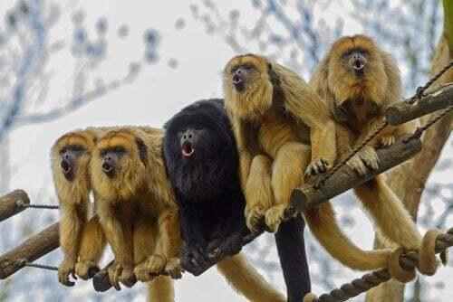 Perché ci sono delle scimmie che diventano gialle?