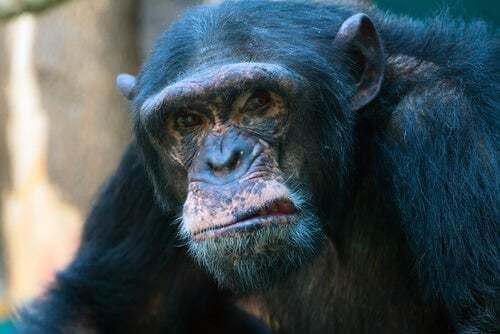 Scimpanzé aggressivo