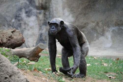 Scimpanzé che cammina