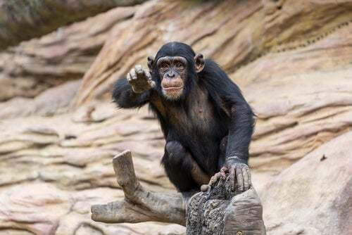 Scimpanzé nel triangolo di Goualougo