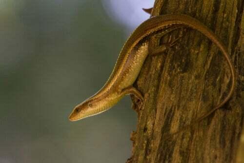 Cosa sono gli scincidi? Serpenti o lucertole?