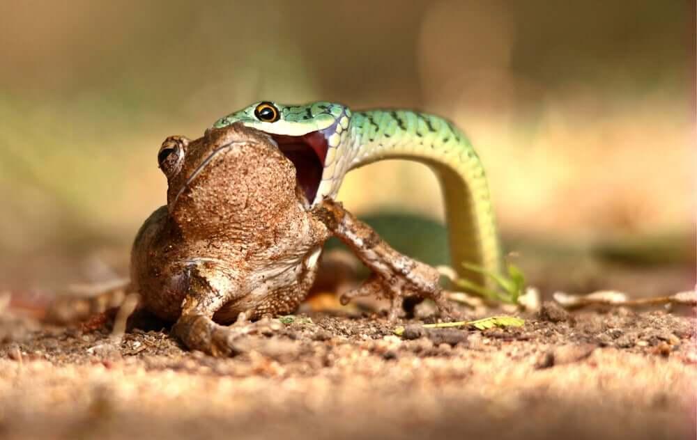 Serpente che mangia una rana