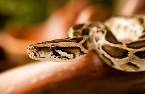 I serpenti come animali domestici, è una buona idea?