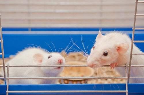 Roditori in gabbia