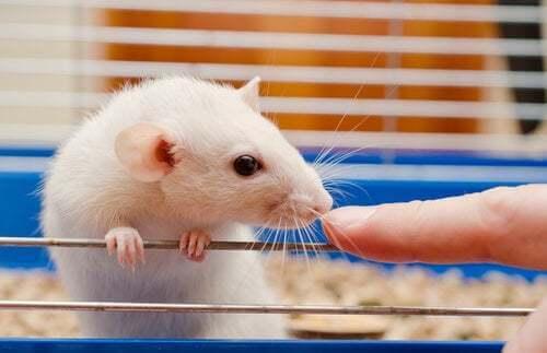 Accorgimenti per mantenere in salute i topi da laboratorio