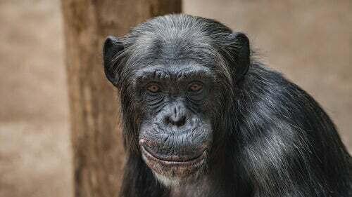Gli scimpanzé non sono animali domestici: la storia di Travis