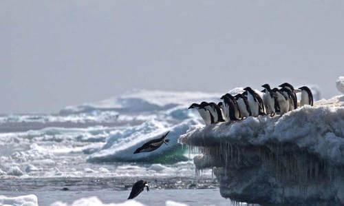 Tuffo dei pinguini