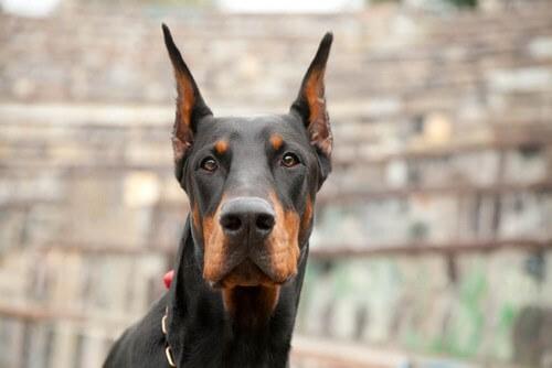 Educare un cane dobermann: fattori da considerare