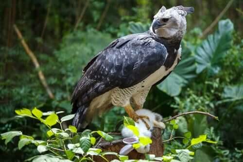 L'aquila arpia: habitat e caratteristiche di un animale maestoso