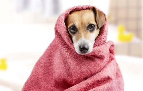 Asciugare il cane dopo il bagno