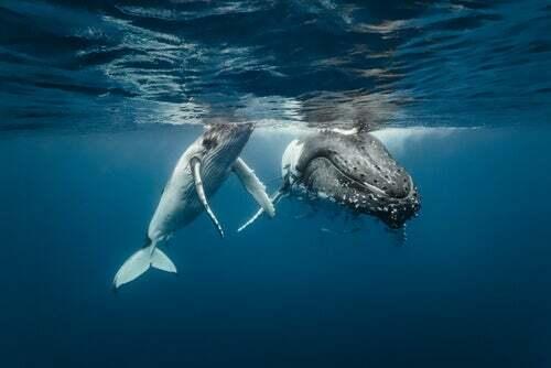Balene che nuotano