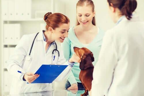 Bassotto durante la visita veterinaria