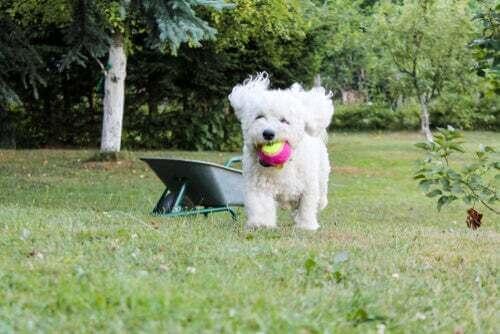 Bichon frisé: un cagnolino semplicemente adorabile