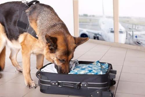 Cane che annusa la valigia
