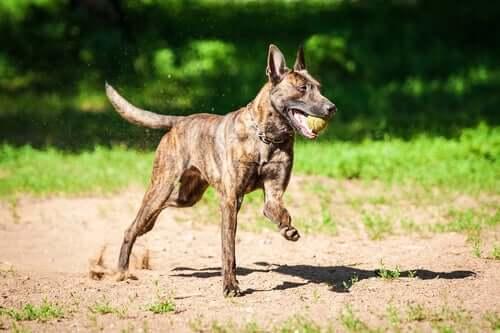 Cane da pastore olandese: un cane affettuoso e poco conosciuto