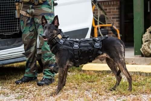 Cane da pastore olandese poliziotto