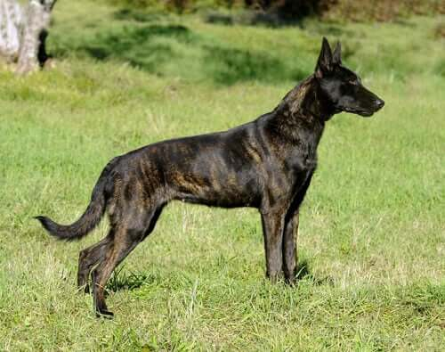 Caratteristiche del cane da pastore olandese