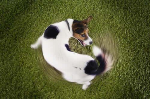 Cane che si morde la coda