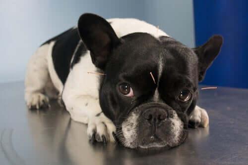 l'agopuntura per cani può essere utile nel trattamento di dolori di diversa natura