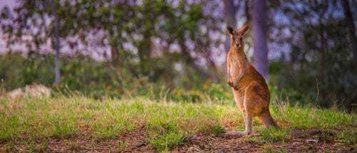 Il canguro: caratteristiche e curiosità sull'animale simbolo dell'Australia