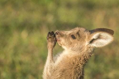 Curiosità sul canguro