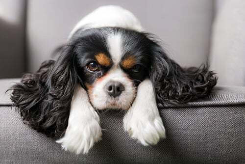 Cavalier King Charles Spaniel cure