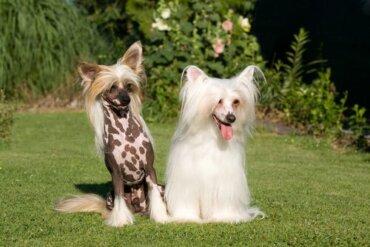Chinese crested dog: cure, caratteristiche e curiosità