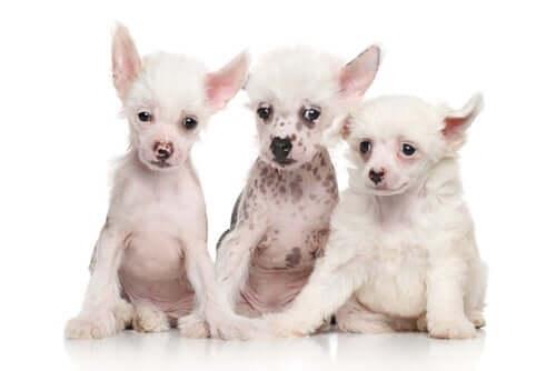 tre cuccioli bianchi