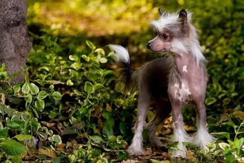 chinese crested dog vicino a un albero
