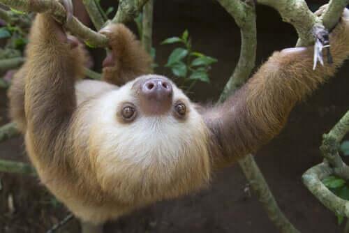 bradipo che si arrampica