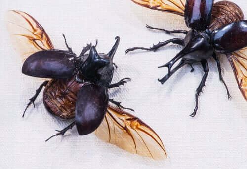 coleotteri e scarabei con le ali aperte