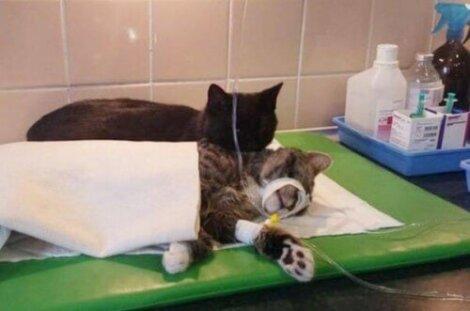prendersi cura del gatto dopo un'operazione