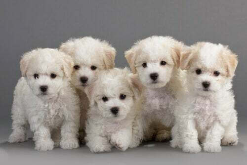 Cuccioli di bichon frise
