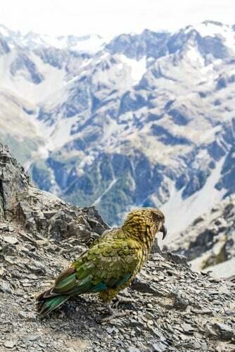 Dieta del cacapò: paesaggio montano e uccello