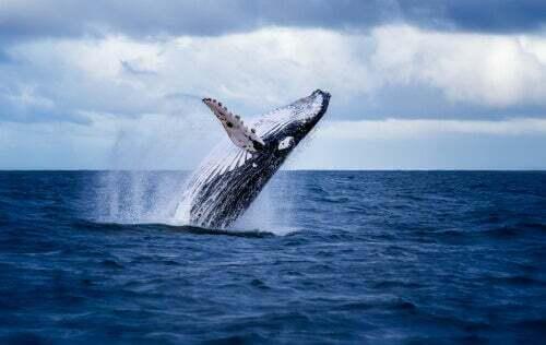 Gli escrementi di balena potrebbero essere importantissimi per l'oceano