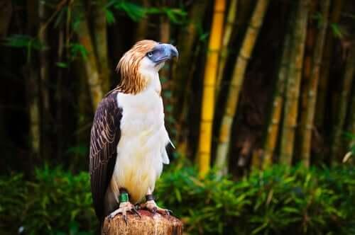 Esemplare di aquila delle filippine